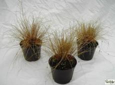 Carex comans 'Little Red' -bräunliche Garten Segge-