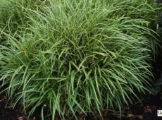 Carex morrowii 'Variegata' -weißbunte Japan Segge-