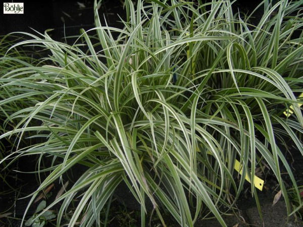 Carex morrowii var. foliosissima 'Silver Sceptre' -Teppich Japan Segge-