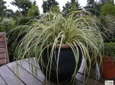 Carex oshimensis 'Evergold' -Grünlilien Segge-