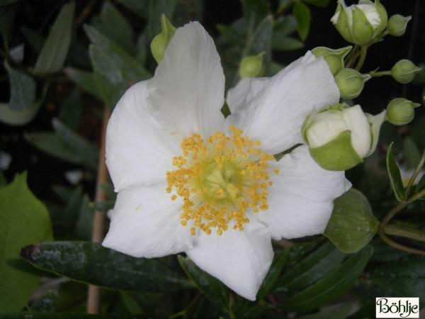 Carpenteria californica -Busch - Anemone-
