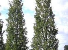 Carpinus betulus 'Fastigiata' -Säulenhainbuche-