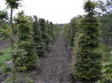 Carpinus betulus -Formschnitt-