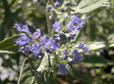 Caryopteris clandonensis 'Heavenly Blue' -Bartblume-