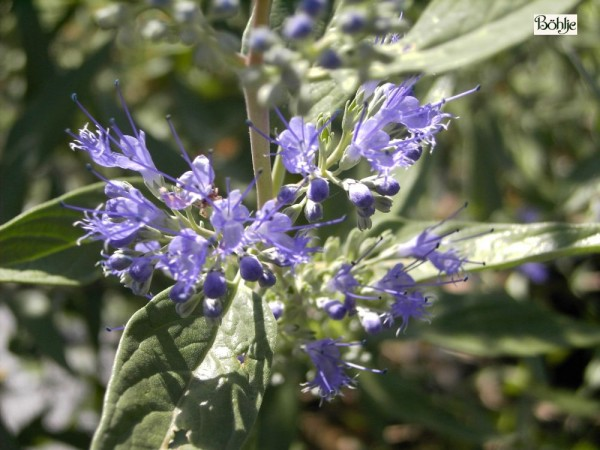 Caryopteris clandonensis 'Heavenly Blue' -Bartblume-