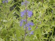Caryopteris clandonensis 'Worcester Gold' -Bartblume-