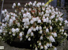 Cassiope 'Badenoch' -Maiglöckchenheide / Schuppenheide-