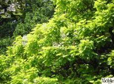 Catalpa bignonioides 'Aurea' -Trompetenbaum-