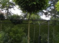 Catalpa bignonioides 'Nana' -Trompetenbaum-