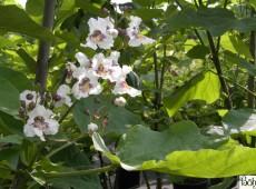 Catalpa bignonioides -Trompetenbaum-