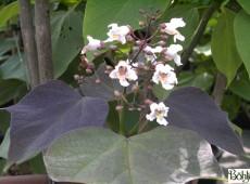 Catalpa erupubescens 'Purpurea' -Trompetenbaum-