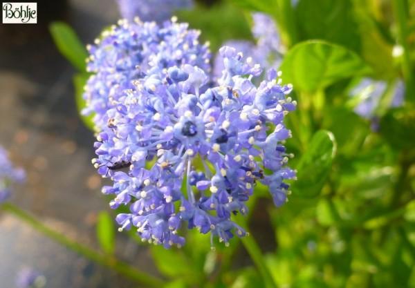Ceanothus 'Burkwoodii' -Säckelblume-