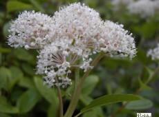 Ceanothus americanus -Säckelblume-