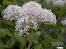 Ceanothus americanus -amerikanische Säckelblume-