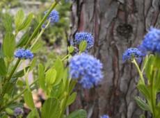 Ceanothus impressus 'Victoria' -Säckelblume-