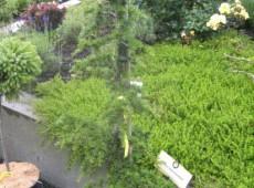 Cedrus libani ssp. brevifolia -Zypernzeder-