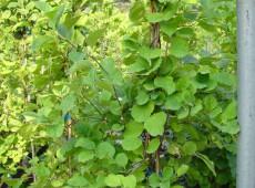 Celastrus orbiculatus -Baumwürger-