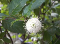 Cephalanthus occidentalis -Knopfblume-