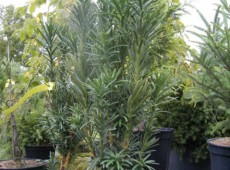 Cephalotaxus harringtonia 'Fastigiata' -Säulenkopfeibe-
