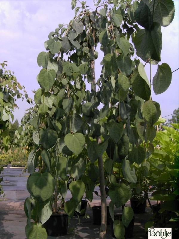 Cercidiphyllum japonicum 'Pendulum' -Kuchenbaum-