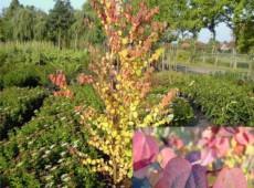 Cercidiphyllum japonicum -Kuchenbaum-