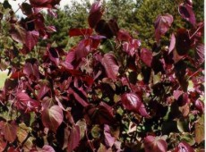 Cercis canadensis 'Forest Pansy' -Judasbaum-