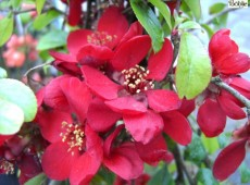 Chaenomeles superba 'Crimson and Gold' -japanische Quitte-