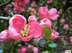 Chaenomeles superba 'Pink Lady' -japanische Quitte-
