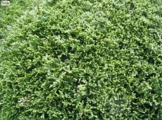 Chamaecyparis lawsoniana 'Forsteckensis' -Zypresse-