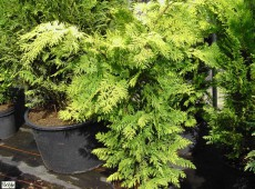 Chamaecyparis lawsoniana 'Howarth's Gold' -Scheinzypresse-
