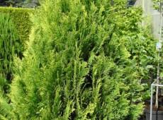 Chamaecyparis lawsoniana 'Ivonne' -Scheinzypresse-