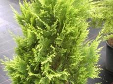 Chamaecyparis lawsoniana 'Kelleriis Gold' -Scheinzypresse-
