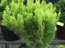 Chamaecyparis lawsoniana 'Minima Aurea'