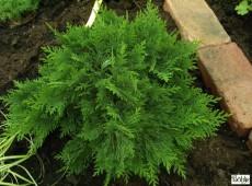 Chamaecyparis lawsoniana 'Nidiformis' -Scheinzypresse-