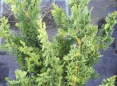Chamaecyparis lawsoniana 'Wisselii' -Scheinzypresse-