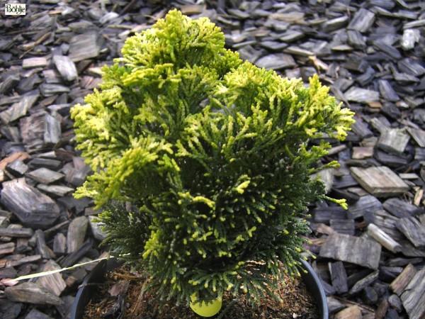Chamaecyparis obtusa 'Aurora' -Scheinzypresse-