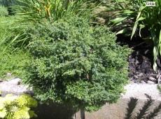 Chamaecyparis obtusa 'Chabo-yadori' -Moosmuschelzypresse-