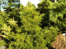 Chamaecyparis obtusa 'Coralliformis' -Scheinzypresse-