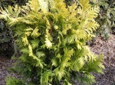 Chamaecyparis obtusa 'Crippsii' -Scheinzypresse-