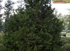 Chamaecyparis obtusa 'Draht' -Scheinzypresse-