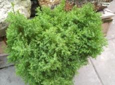 Chamaecyparis obtusa 'Erika' -Hinoki-Scheinzypresse-