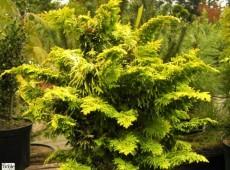 Chamaecyparis obtusa 'Fernspray Gold' -Muschelzypresse-