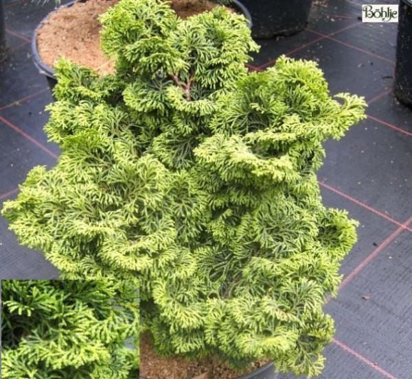 Chamaecyparis obtusa 'Kosteri' -Fächerblattscheinzypresse-