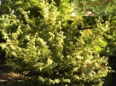 Chamaecyparis obtusa 'Mariesii' -Scheinzypresse-