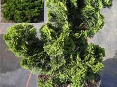 Chamaecyparis obtusa 'Nana Gracilis' -japanische Muschelzypresse-