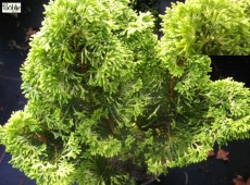 Chamaecyparis obtusa var. breviramea