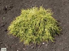 Chamaecyparis pisifera 'Filifera Aurea Nana' -gelbe Zwergfadenscheinzypresse-