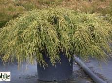 Chamaecyparis pisifera 'Filifera Nana' -grüne Fadenscheinzypresse-