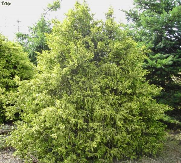 Chamaecyparis pisifera 'Gold Spangle' -Fadenzypresse-