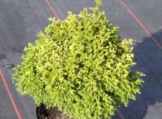 Chamaecyparis pisifera 'Plumosa Compressa Aurea' -Scheinzypresse-